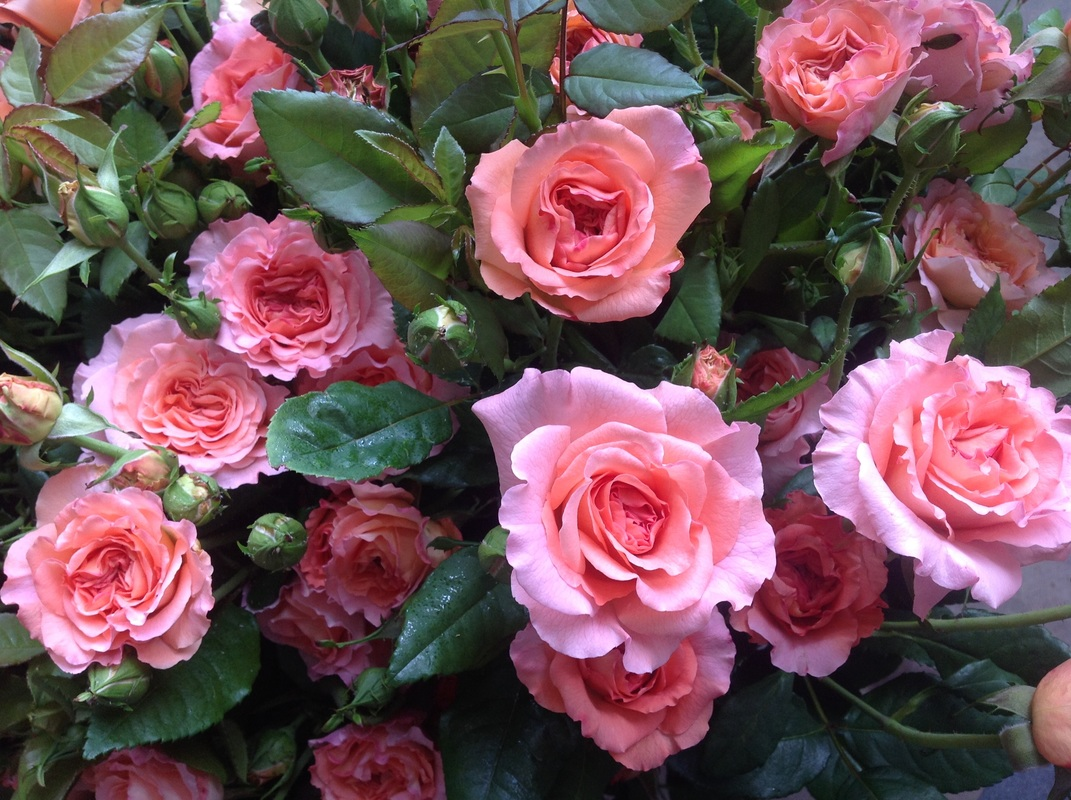 GARDEN ROSES NEVE BROS INC GROWER WHOLESALER